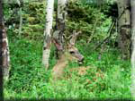 A mule deer making a home in the aspens