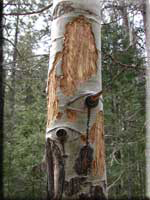 This is what happens when elk remove bark from trees