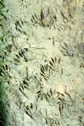 Image of turkey tracks