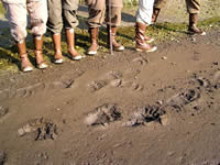 Bear tracks in the mud