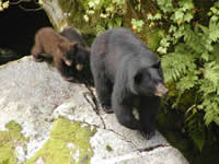 Black bear sow and cubs at Anan Wildlife Observatory near Wrangell