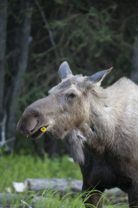 Each year in Alaska more people are injured by moose than by bear