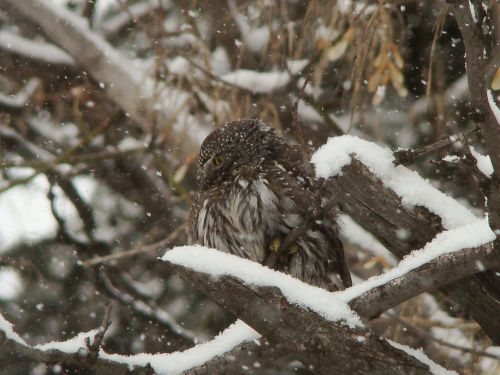 image of an owl sitting in a tree during a snow storm