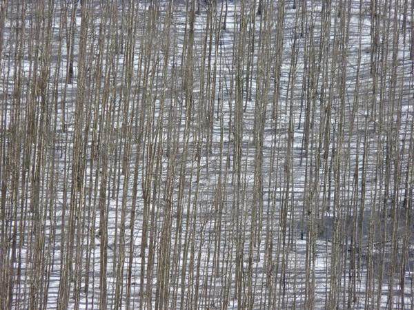 image of aspen stand in winter