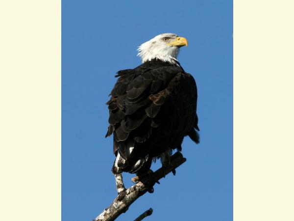 image of bald eagle perched on tree branch