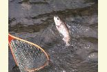 Photo of a net being used to land a Rainbow trout that has been caught on the Green River.