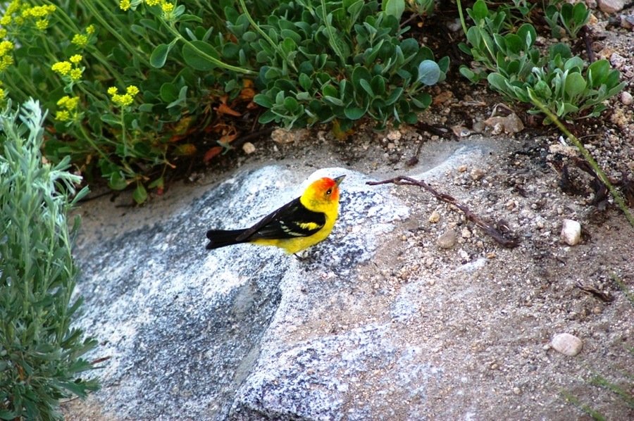 Western Tanager by Ann Thornton
