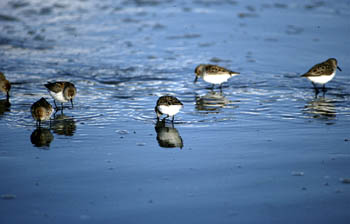 western sandpipers are the most common shorebird visitor to Hartney Bay.