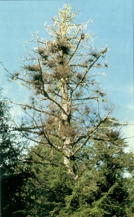 Figure 5. Western hemlock tree mortality from severe infection with hemlock dwarf mistletoe.