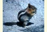 Other Mammals: Squirrels and Chipmunks
