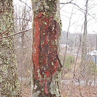 Tree on Private Land marked with red paint