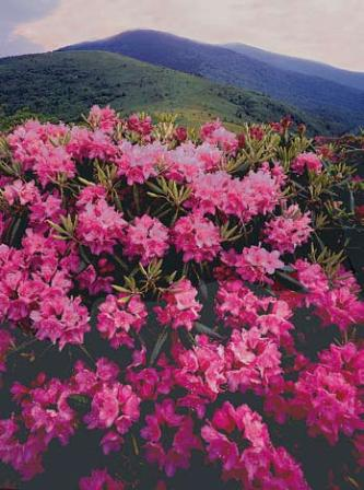 Close up of flowering rhododendron on Roan Mountain