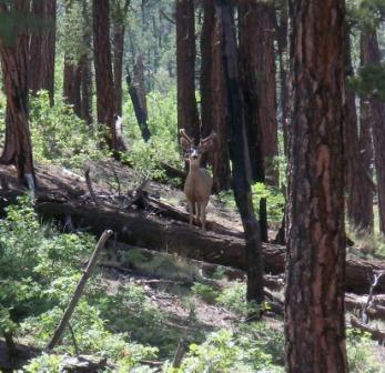 Mule Deer in the Apache Kid Wilderness in summer velvet