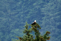 A bald eagle sits in the top of a tree