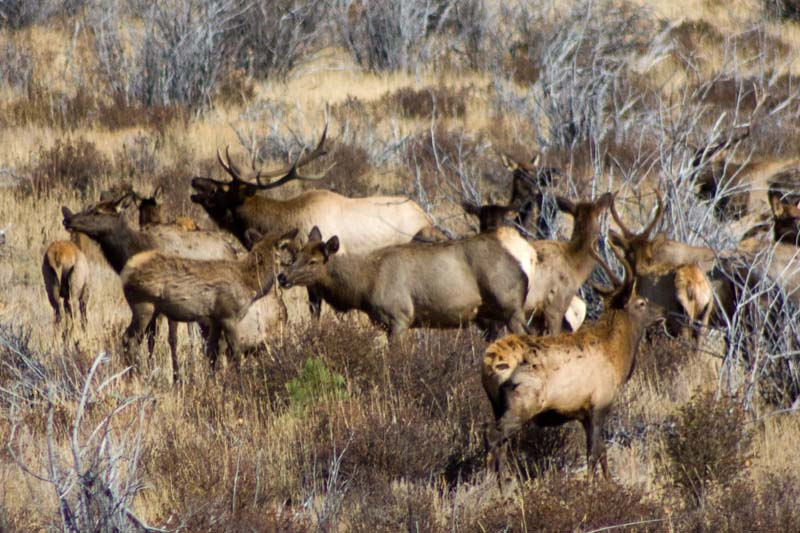 elk in mountain shrub habitat