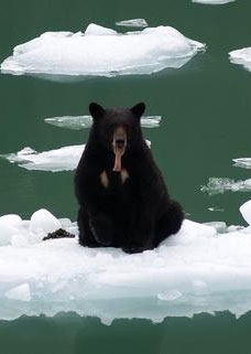 Shows a bear sitting on an iceburg. The bear is showing his tongue