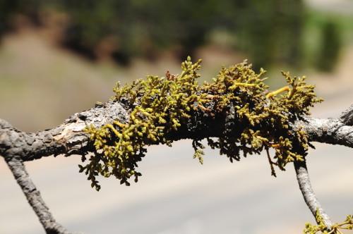 stelprdb5278979 Mistletoe