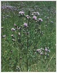 Photo of Canada Thistle