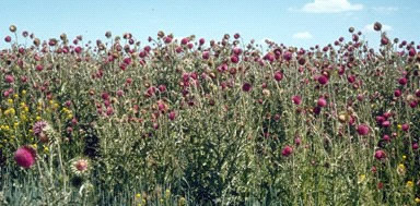 Photo of Musk Thistle.