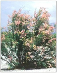 Photo of saltcedar.