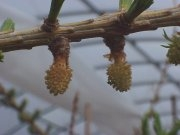 Photo:  Close of buds on a larch tree in a greenhouse.