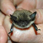 Image of a hand holding a small bat, about the size of a thumb.