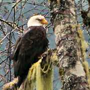 Image of an adult bald eagle sitting on a branch with lichen and moss.