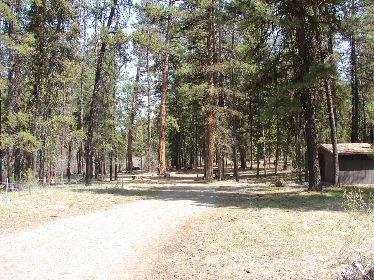 A campground road with tall ponderosa pine trees along the side