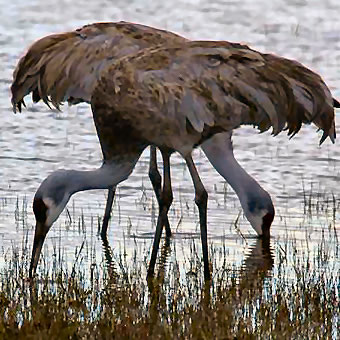 Close-up photo of two sandhill cranes dipping their beaks in water.
