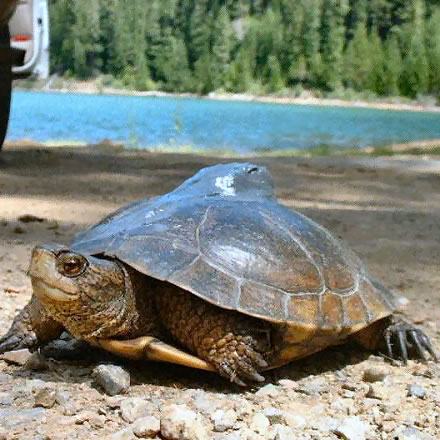 Close-up photo of a western pond turtle moving away from a lake with trees in background.