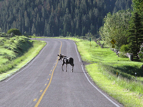Image of moose on Flat Tops Trail Scenic and Historic Byway
