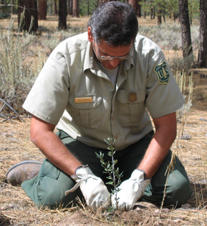 Forest employee planting native species