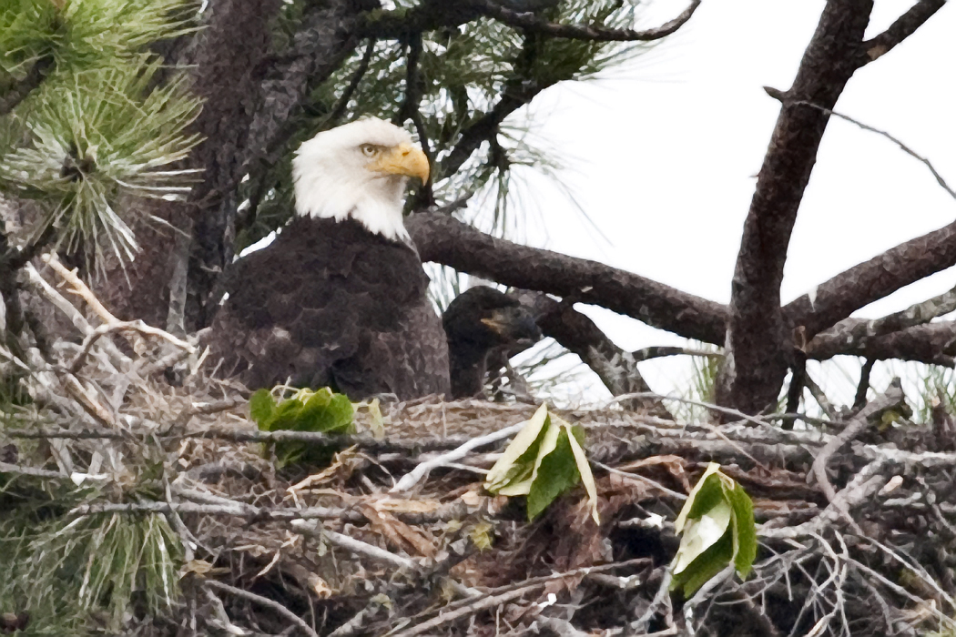Eagle with Chick