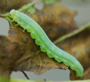 Green alder sawfly larva; photo from pest alert by Jim Kruse, 2010