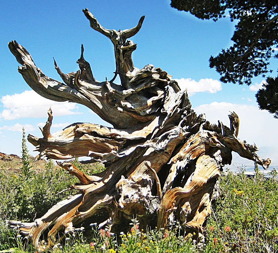 A dead Juniper creates an artistic, twisted design in wood.