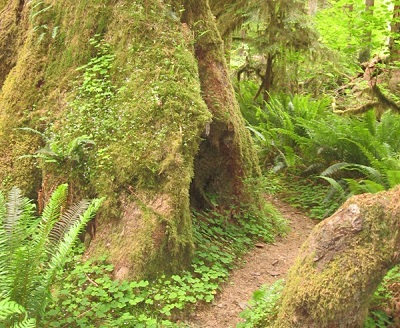 Bogachiel Rain Forest Trail > via Wetland Trail