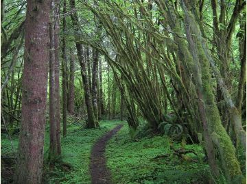 Vine Maple forest along the Sol Duc Valley floor