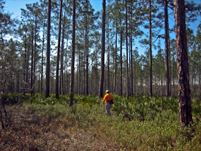 Hiking through the longleaf pines
