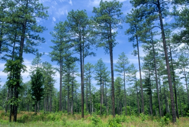 Longleaf Pine stand on the Uwharrie