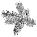 Drawing of Douglas Fir branch