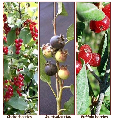 Image of huckleberries and other berries