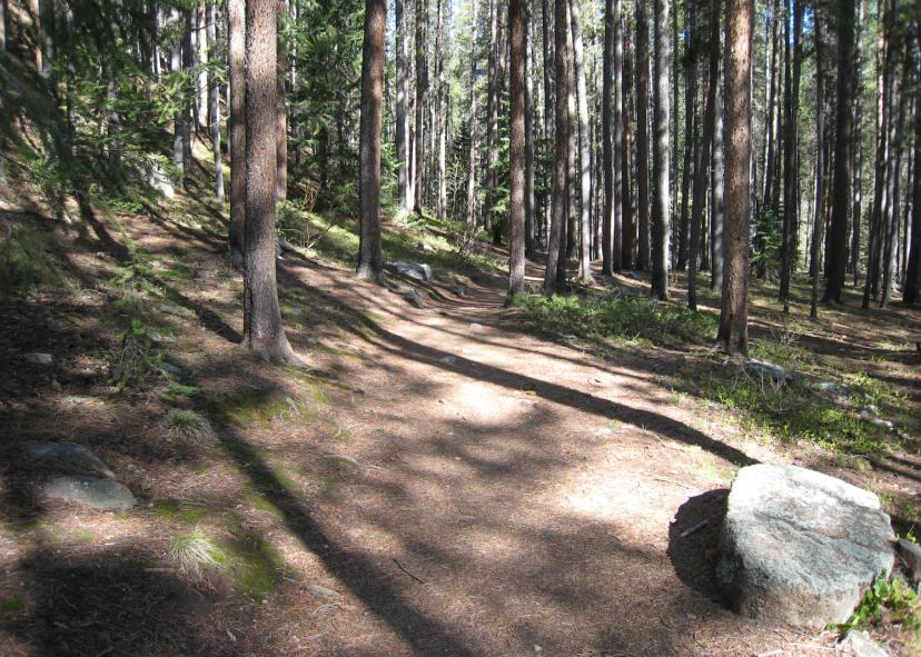A photo showing the Ceran St Vrain Trail winding through a dense Ponderosa Pine forest