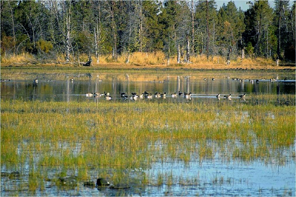 Ducks on the water of Beeler Reservoir with treelined shore in the background a