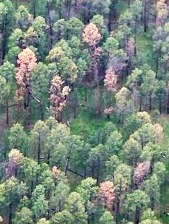 Aerial view of fading ponderosa pines