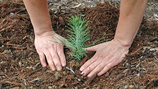 Hands around a tree seedling in the dirt.