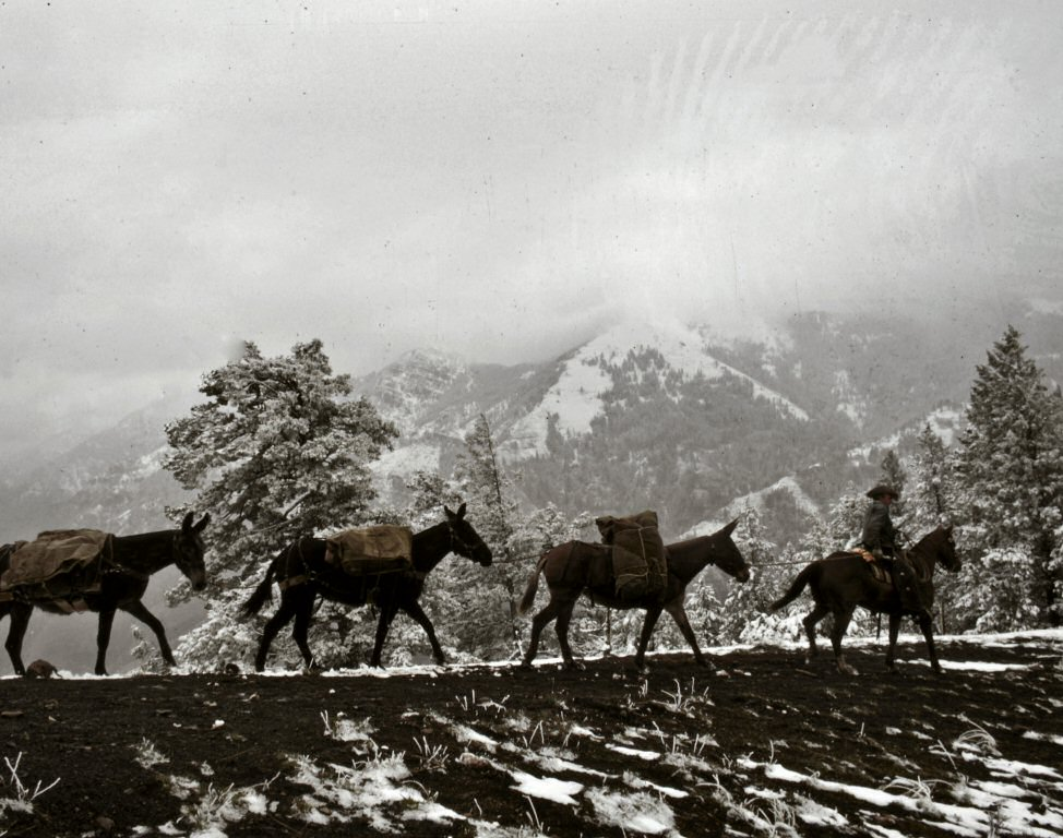 Photograph: Four mules carrying packs with snow-covered mountains in the background.