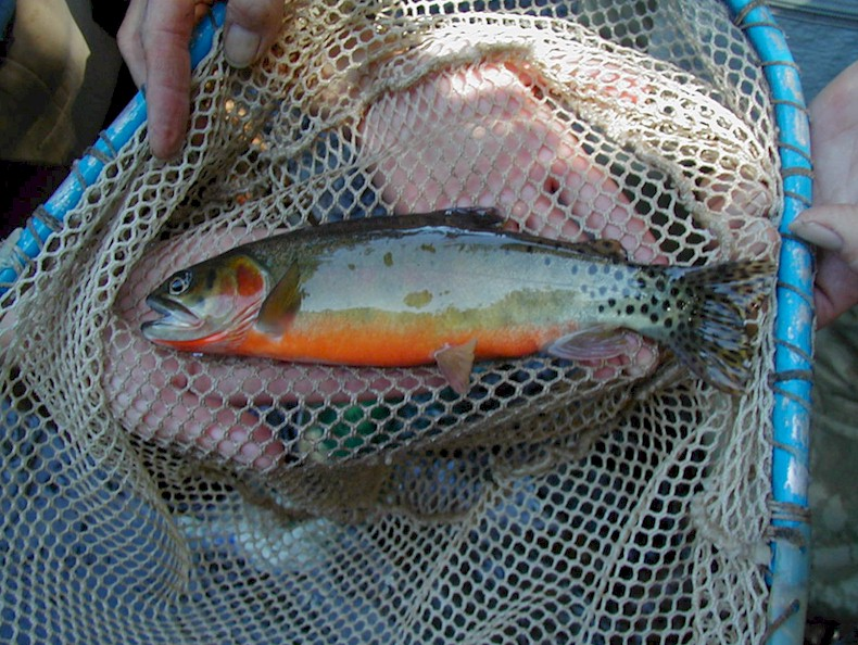 Photo of Cutthroat Trout