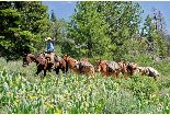 An employee leads a string of mules up the trail of yellow wildflowers and into the back country.