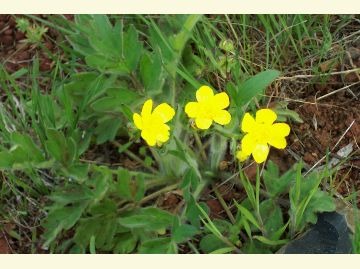 Modoc national forest resource management the western buttercup is a shiny yellow flower with 5 or 6 petals and a yellow mightylinksfo