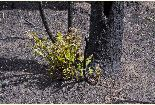Wallow Fire: Regrowth